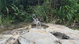 A family of Malagasy lemurs crossing a small river