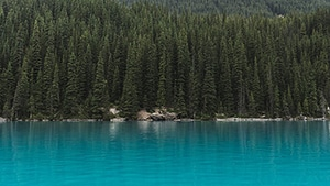 A large number of pine trees with different heights, with a lake in the foreground